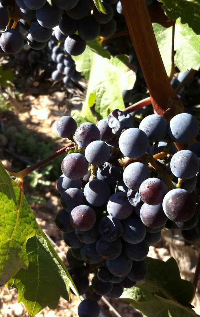 vi negre montsant-vi crinaça montsant